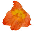 Single bright orange gladiolus flower isolated on white background Royalty Free Stock Photo