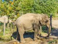 Single brown grey big elephant walking in a nature landscape scene Royalty Free Stock Photo