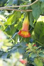 Single Brugmansia - Angel`s Trumpets - Orange to Yellow Royalty Free Stock Photo