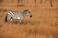 Single burchell zebra seregetti which rare as animals use large numbers protection Stock Photography