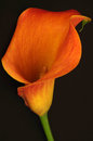 Single calla lily Royalty Free Stock Photo