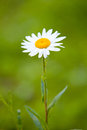 Single camomile close up photo of on blured green background Royalty Free Stock Image