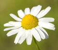 Single camomile flower white on green background Stock Photography