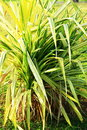 Single cluster of ornamental grass upright grown phalaris arundinacea growing in marina bay east garden in singapore Royalty Free Stock Image