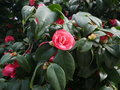 Single colorful pink camellia flower on a bush