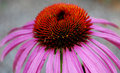 Single coneflower Royalty Free Stock Image