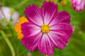 Single cosmos flower Royalty Free Stock Images