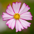 Single cosmos flower Stock Images