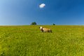 Single cow laying on green meadow on blue sky background with clouds Royalty Free Stock Photos