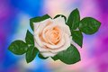Single cream rose against motley background Stock Photos