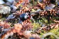 Single crowberry or blackberry fully ripe found in the fall on the arctic tundra Royalty Free Stock Photo