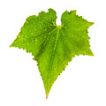 Single cucumber fresh green leaf Royalty Free Stock Photo
