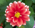 Single dahlia flower closeup Stock Photo