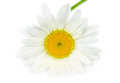 Single daisy flower isolated on white background Royalty Free Stock Image