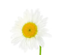 Single daisy flower isolated on white background Stock Photography
