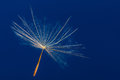 Single dandelion floating against the blue sky close up detail pattern Stock Images