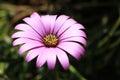 Single Dark Purple Flower Royalty Free Stock Photo