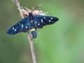 Single Day Moth on grass stalk, Phegea amata. Royalty Free Stock Photo