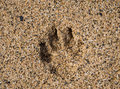 Single dog paw print in sand Royalty Free Stock Photo