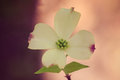 Single dogwood flower a close up of a Royalty Free Stock Photos
