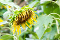 Single drooping and wilted sunflower Royalty Free Stock Photo