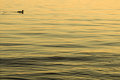 Single duck on water feeling alone being lonely being blue vast lake sea ocean depression following a path moving forward Royalty Free Stock Images