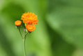 Single emilia javanica or irish poet orange flower a with a blurred green background this is an annual plant Royalty Free Stock Photography