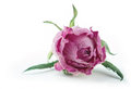Single faded pink rose on white background Royalty Free Stock Photo
