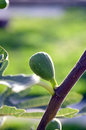 Single fig growing Royalty Free Stock Photo