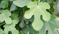 Single fig leaf Royalty Free Stock Photo