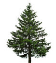 Single fir tree Royalty Free Stock Images