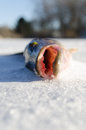 Single fish laying on cold ice with mouth open Stock Images