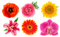 Single flower heads. Lily, orchid, ranunculus, sunflower, gerber Royalty Free Stock Photo