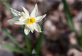 Single flower of narcissus poeticus on blurry background Stock Photo