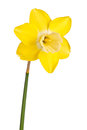 Single flower of a reverse-bicolor daffodil cultivar isolated Royalty Free Stock Photo