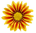 Single flower of tiger gazania splendens genus asteraceae iso isolated Stock Images