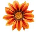 Single flower of tiger gazania splendens genus asteraceae iso isolated Stock Photo
