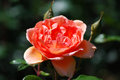 Single Flowering Peach Rose Blossom in a Garden Royalty Free Stock Photo