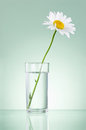 Single fresh chamomile in glass water isolated on green background Stock Images