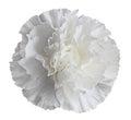 White Carnation Flower Royalty Free Stock Photo