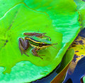 The single frog on lotus leaf Stock Images