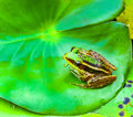 The single frog on lotus leaf for decorate project Stock Images
