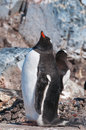 Single gentoo penguin displaying near nest Stock Images