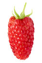 Single giant, elongated raspberry. Royalty Free Stock Photo