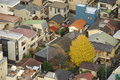 Single Ginkgo Tree In Resident...