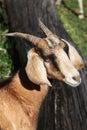 Single goat