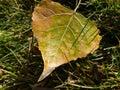 Single Golden Cottonwood Leaf