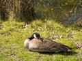 Single goose laying in the sun spring enjoying Royalty Free Stock Photos