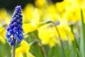 Single grape hyacinth in a garden Royalty Free Stock Photo