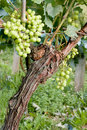 Single grapevine Stock Photos